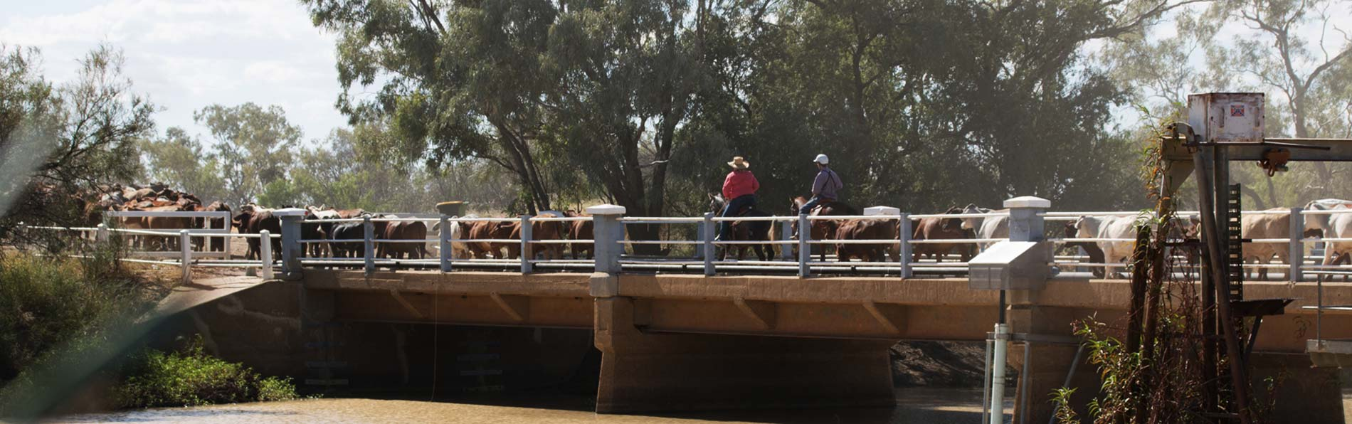A rancher walks his cattle accross a longreach crossing